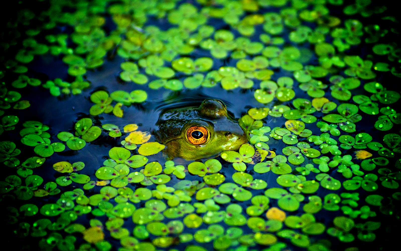 Frog Wallpapers Funny Animals HD Wallpapers Download Free Images Wallpaper [1000image.com]