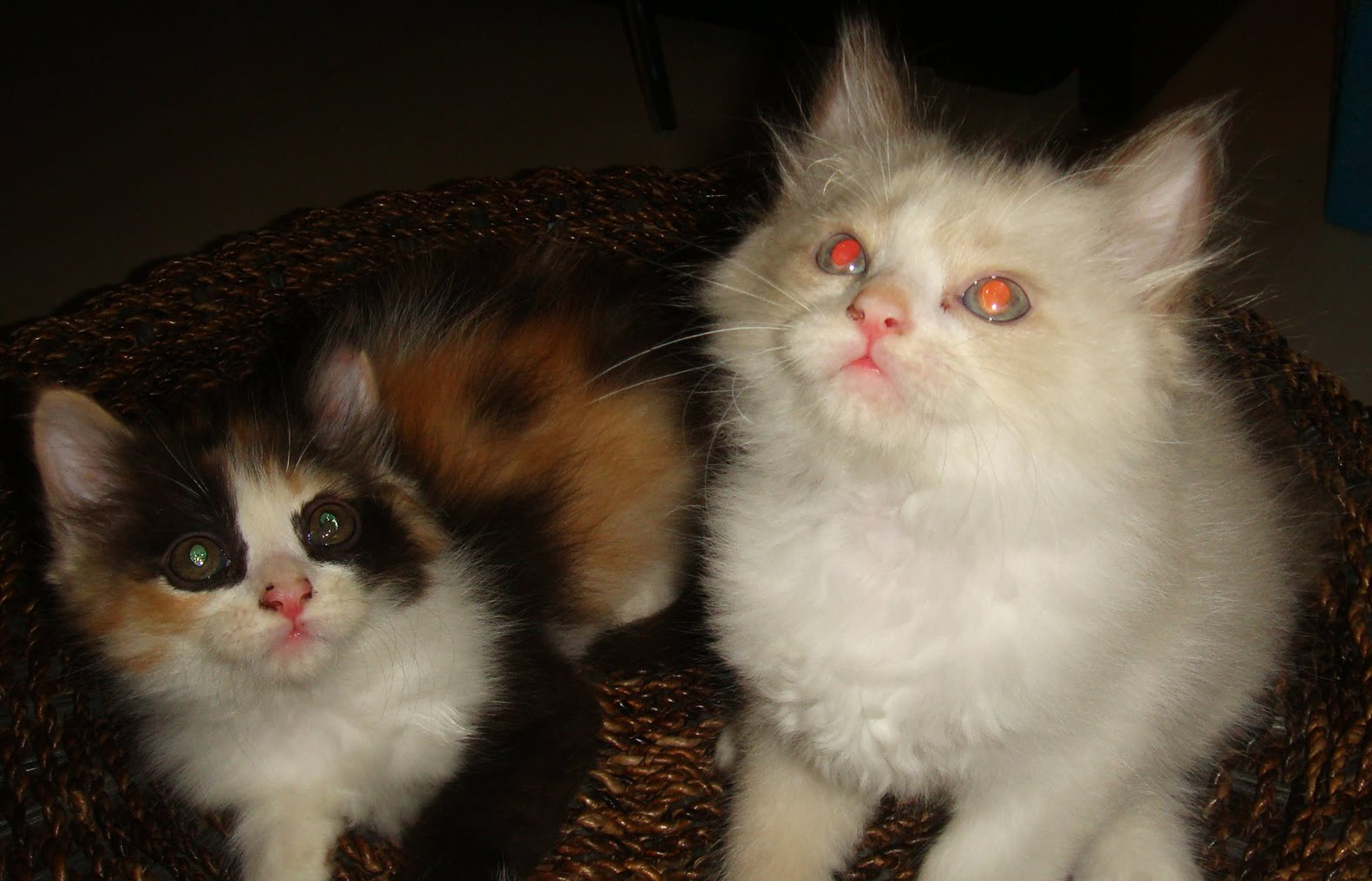 Kittens For Sale In Herts Beds And Bucks