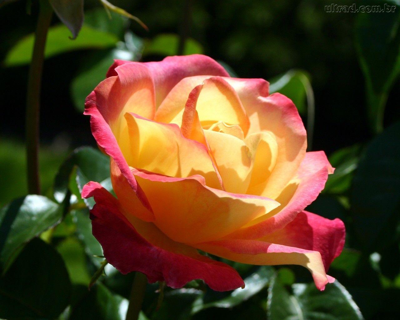 Imagens De Rosas Vermelhas E Amarelas