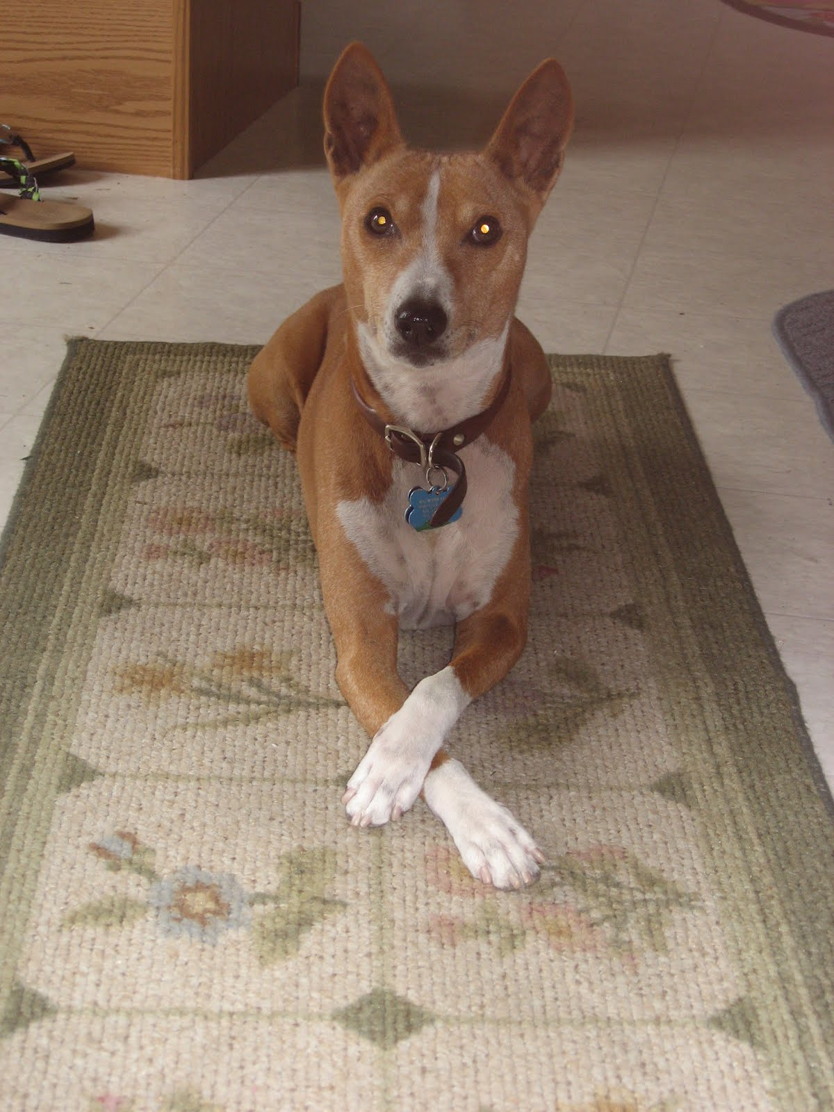 Basenji Rescue And Transport Blog Things We Love About