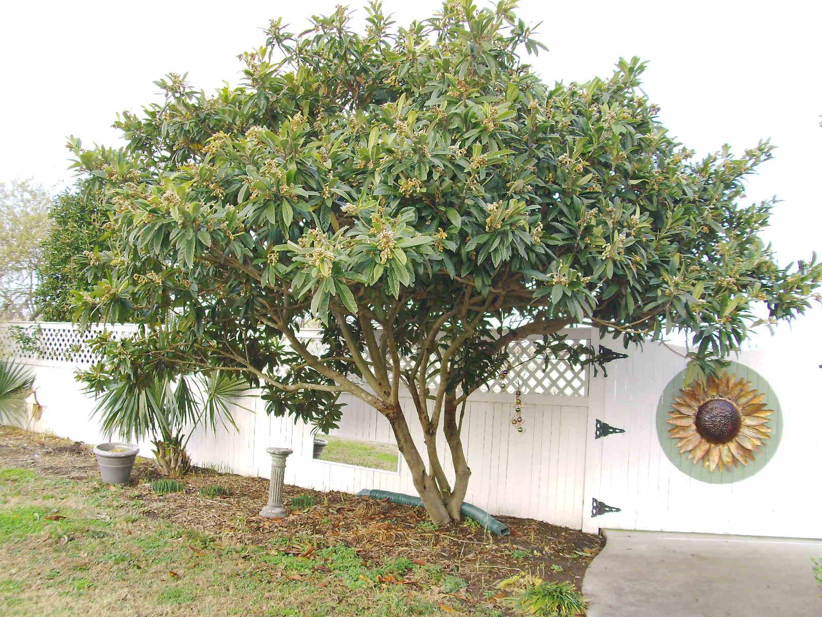 Japanese Loquat, Buy in Tampa, Brandon, Riverview, Apollo Beach