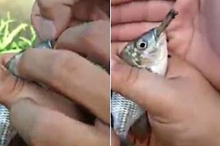 """Nas imagens chocantes, um dos homens – que não foram identificados – segura o peixe na palma da mão, enquanto uma segunda pessoa abre sua boca. Eles, então, inserem o cigarro a força na boca do animal e riem em voz alta após o peixe parecer """"tragar"""" o cigarro de maconha. Momentos depois, eles retiram o cigarro da boca do peixe e o atira de volta ao lago. De forma irônica, o rapaz que o solta diz: """"Para vocês verem, nós não zoamos [sic], nós soltamos"""". Não está claro se o peixe sobreviveu após o incidente. O vídeo foi enviado para o portal LiveLeak e teve mais de 53.600 visualizações em apenas 16 horas."""