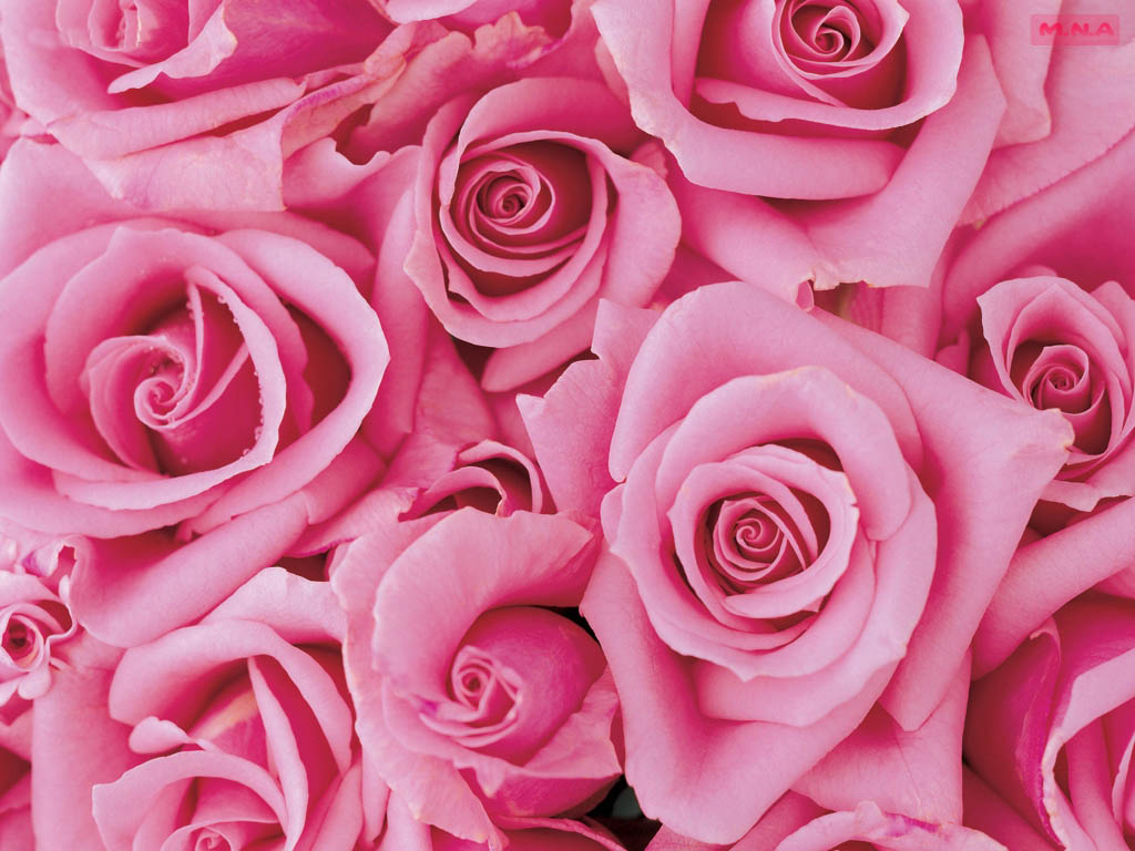Beautiful pink roses pictures - Pink Wallpaper Designs