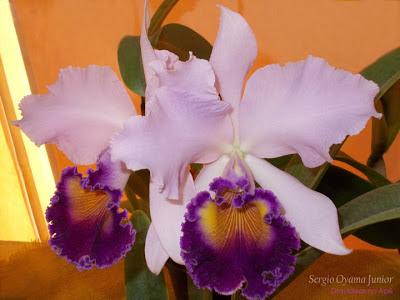 Orquídea Lc. Dinard