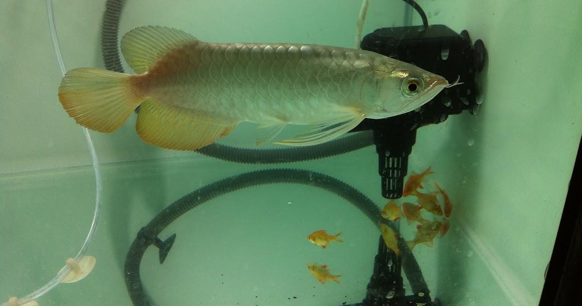 lagenda arowana  penjagaan ikan kelisa  arowana  untuk beginner