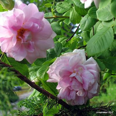 Rosa (Alba-gruppen) 'Minette'