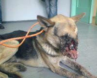 Perro con su cara reventada por un petardo