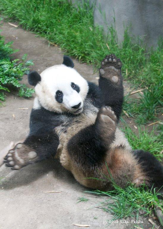 Lazy Panda!!!