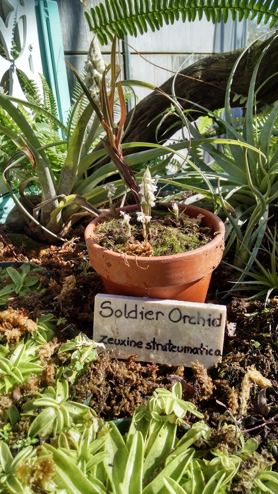 The Soldier Orchid
