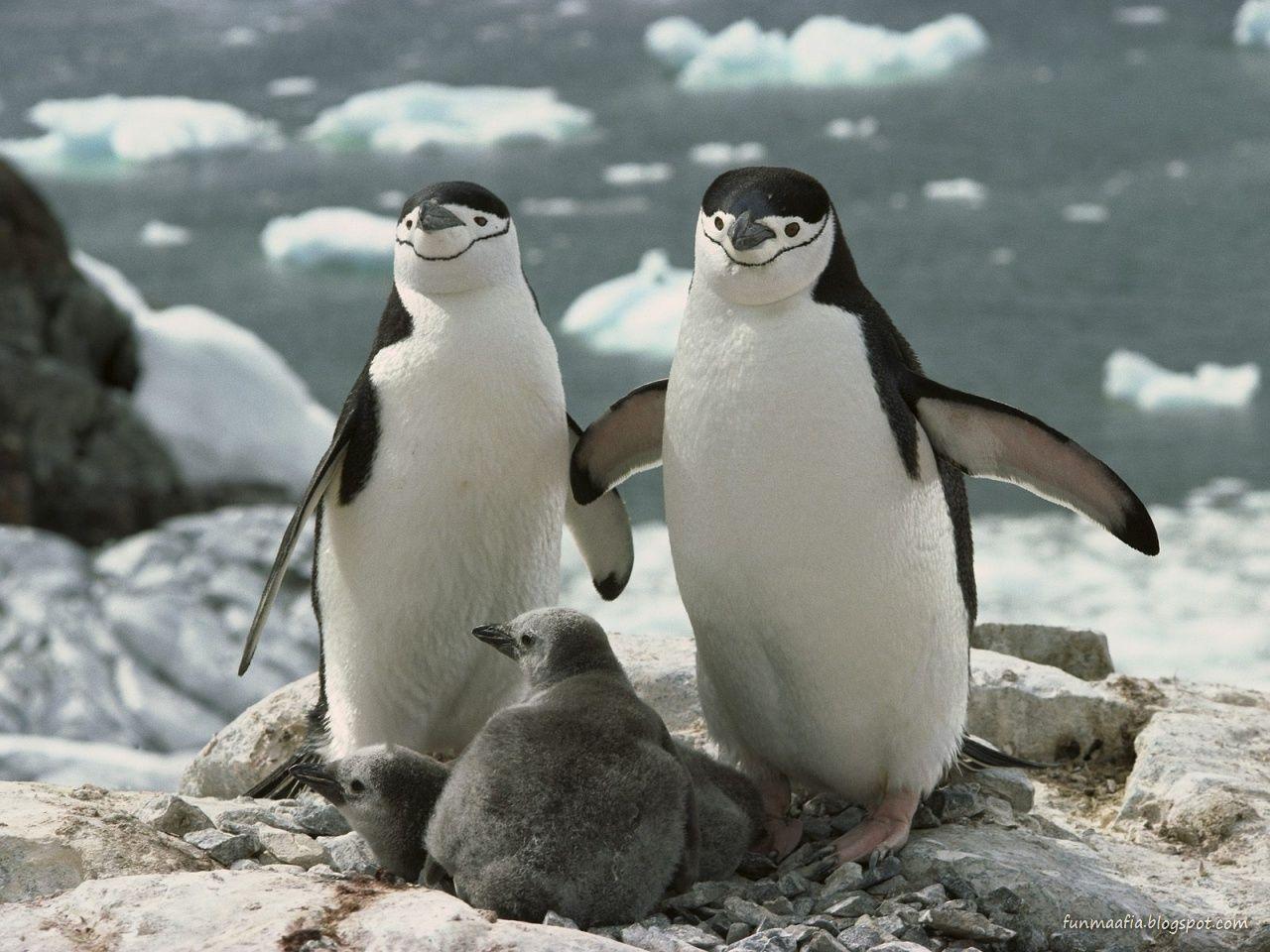 http://3.bp.blogspot.com/-S7lLuTgtqwU/TolIuBm1NlI/AAAAAAAACDE/vosPmDwgiLI/s1600/Penguins-Family-wildlife-wallpaper.jpg