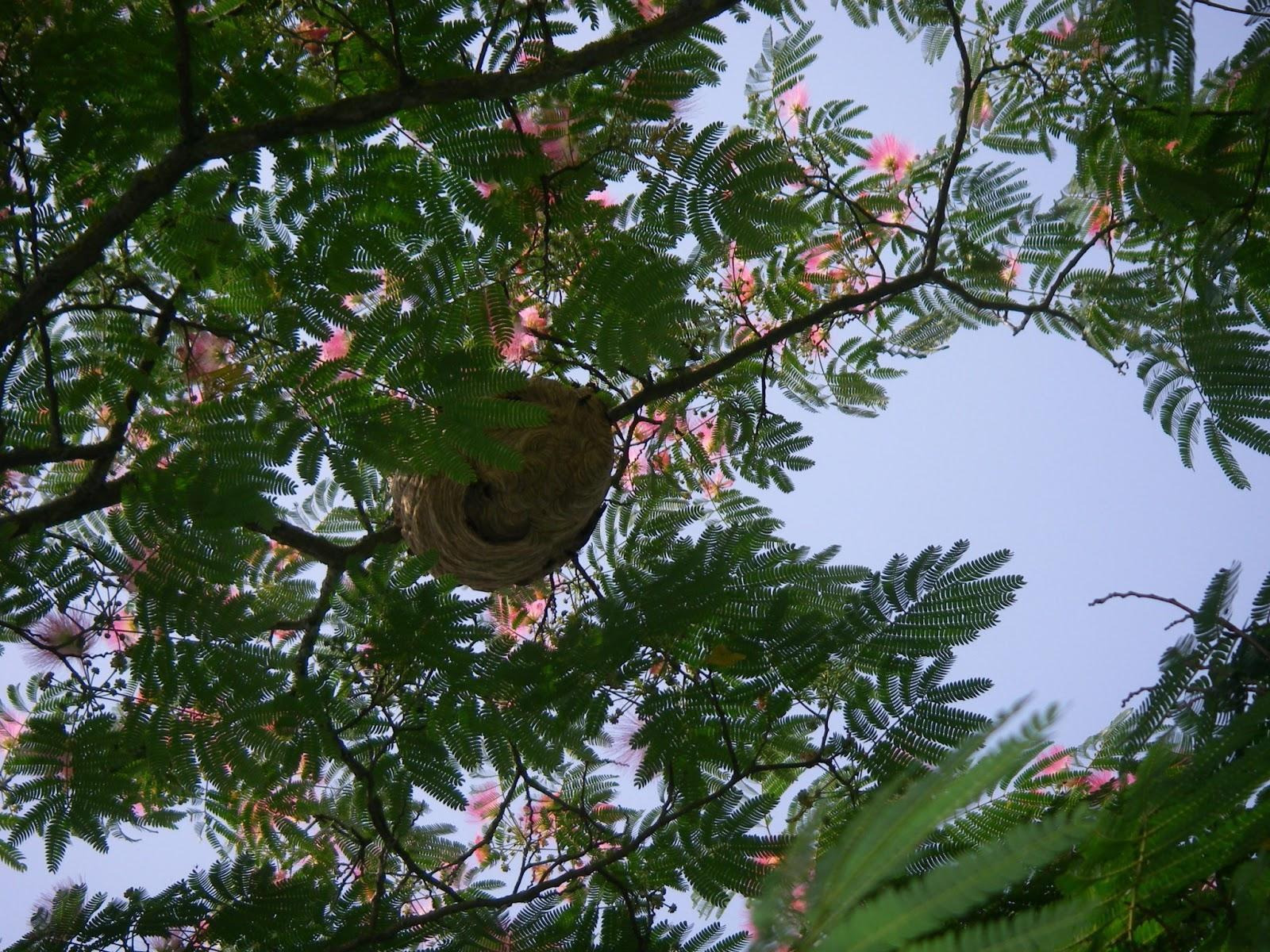 stop gu pes et frelons destruction nid de frelons asiatiques dans albizia bazet 65. Black Bedroom Furniture Sets. Home Design Ideas