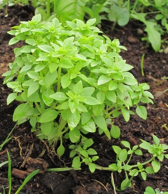 Plantes des jardins et des chemins un pot de basilic - Arrosage basilic en pot ...