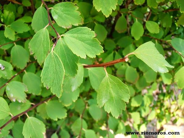 Arboles de hoja caduca for Arbustos de hoja caduca