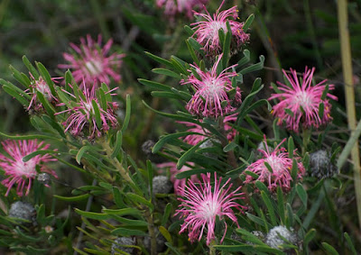 Sickle-leaved Coneflower (Isopogon linearis)