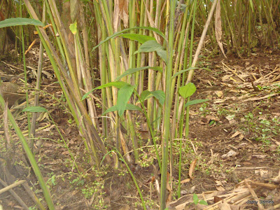 Cardemom Plant