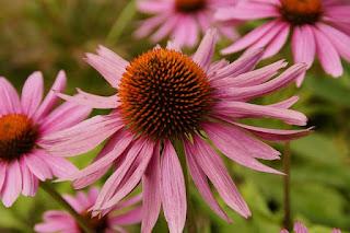 L'échinacée parmi les remèdes naturels à base de plantes pour traiter l'acné