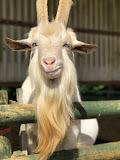 <b>Intrepid Judas Goat</b>