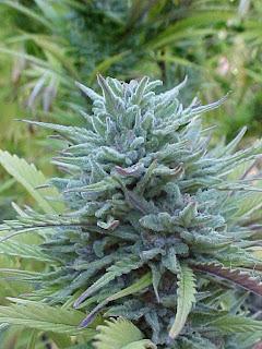 jenis-jenis tanaman ganja