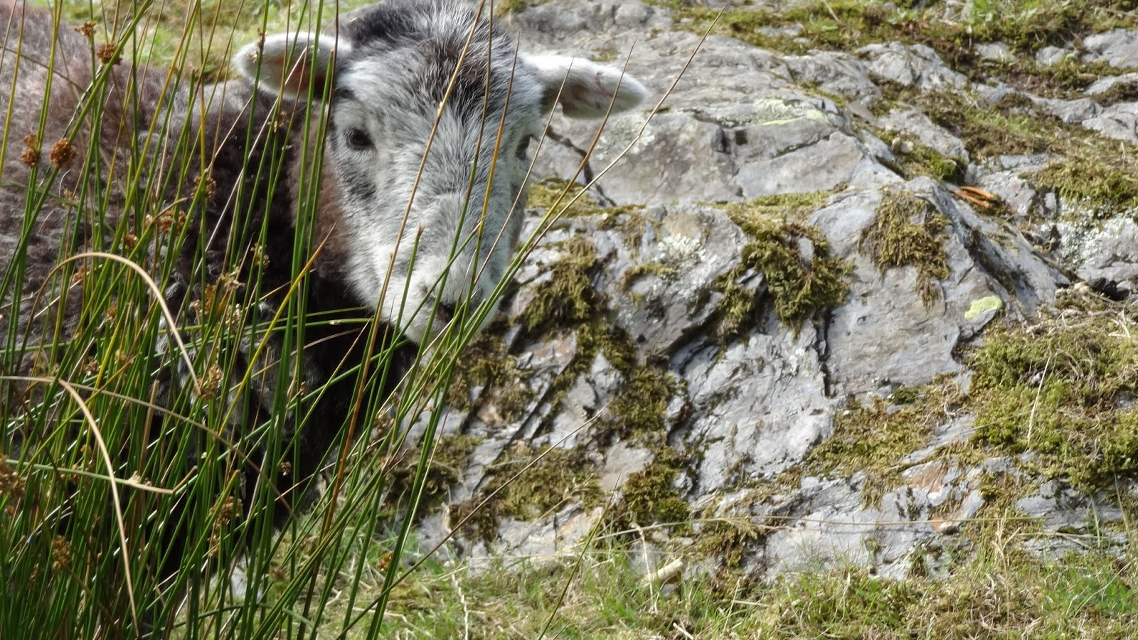 Little herdwick sheep