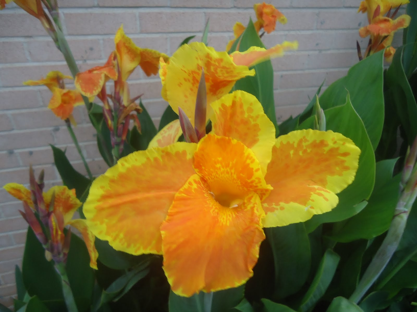 Cannas are blooming Plant Swap