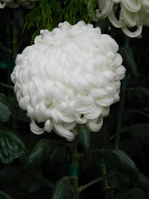 White incurve mum at the Allan Gardens Conservatory 2015 Chrysanthemum Show by garden muses-not another Toronto gardening blog