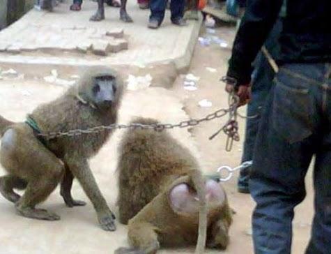 ebola monkey bayelsa
