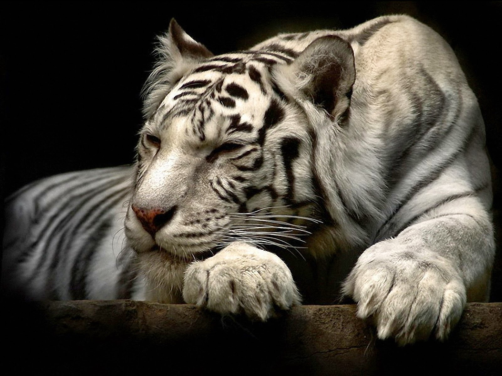 white tiger 3d anime black wallpaper - free wallpaper hd