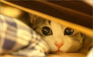 Cat with dilated pupils hiding under bed