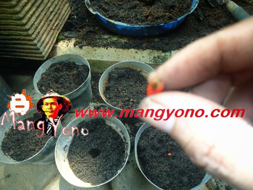 Letakan biji Gelombang Cinta tiap pot satu saja ( dalam biji berwarna merah ini terdapat 2 biji Gelombang Cinta loh).