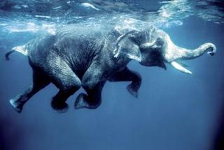 Elefante sabe nadar