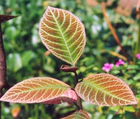 Trị bệnh dạ dày bằng lá khôi tía