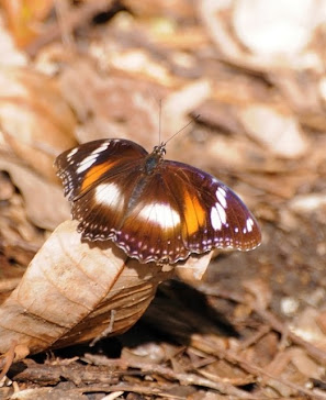Common Eggfly Butterfly, female