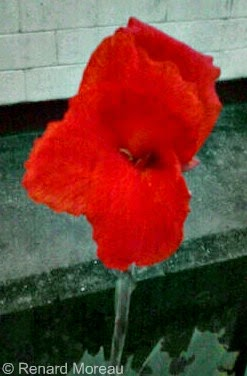 A Beautiful Red Flower That Was Photographed In Bon Air Gardens, Arouca.
