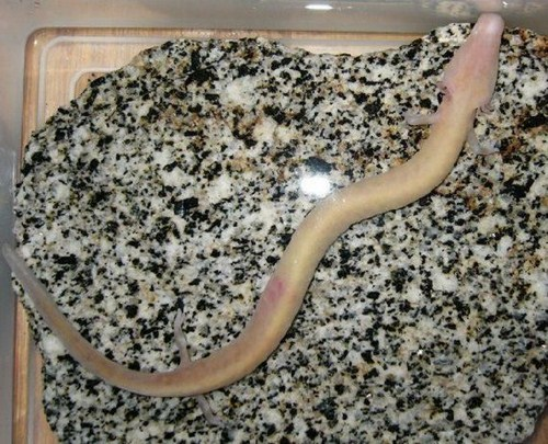 Sea Creature Olm Fish Images | The Olm Amazing Human Fish Photos Seen On www.coolpicturegallery.us