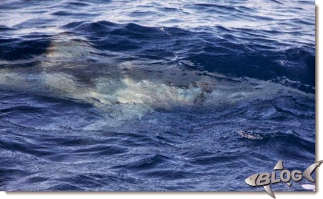 imagen de tiburon blanco en mallorca