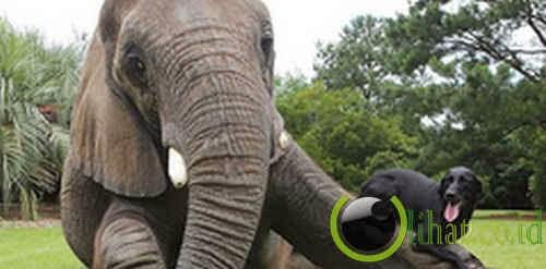 Gajah & Anjing