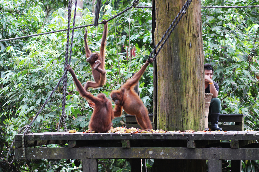 Sepilok Orangutan Rehabilitation Centre Borneo Posh, Broke, & Bored