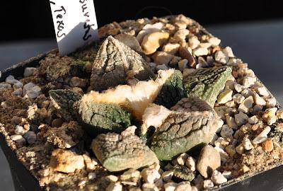 Ariocarpus fissuratus (SB 403; Crockett Co, Texas)