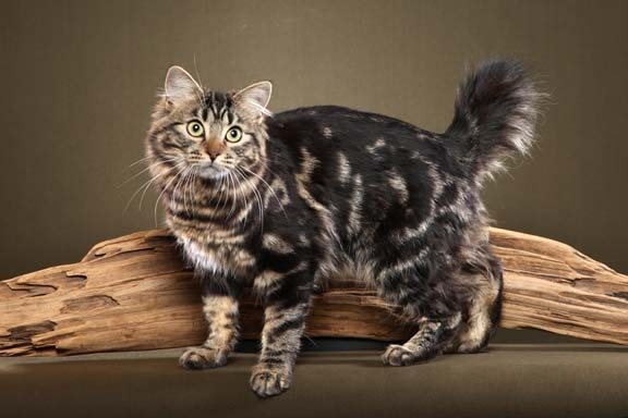 American Bobtail Longhair Fun Animals Wiki Videos