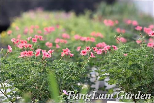 phong lữ thảo, hoa phong lữ thảo, hoa phong lữ, hạt giống hoa, hoa chậu, hoa thảm