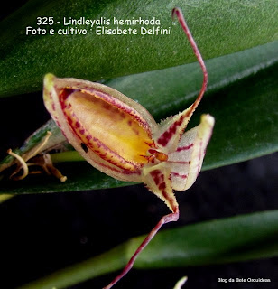 Pleurothallis nuda, Pleurothallis hemirhoda, Humboldtia hemirhoda, Restrepia nuda, Restrepia vittata, Restrepia biflora.