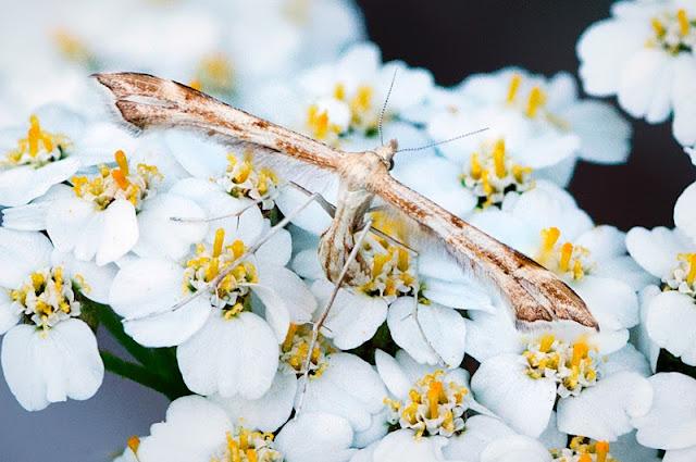 Yarrow Plume Moth (c) John Ashley