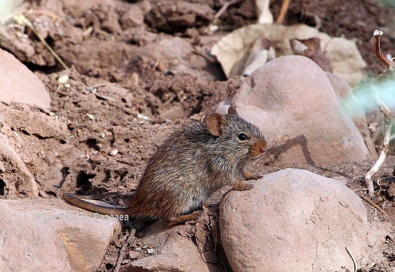 Arvicanthis abyssinicus