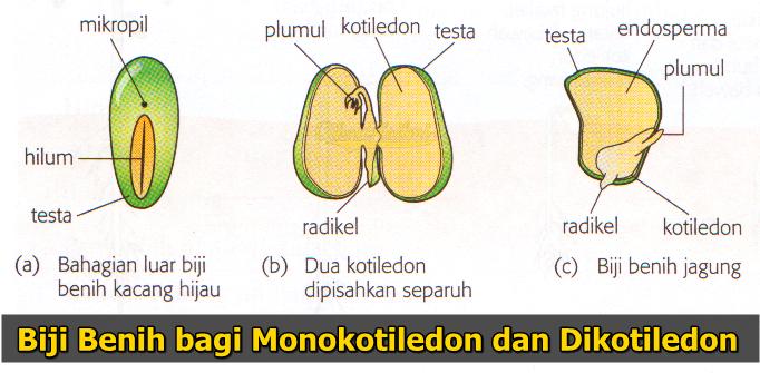 Biji benih monokotiledon dan dikotiledon