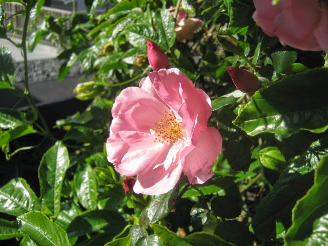 Bantry Bay rose