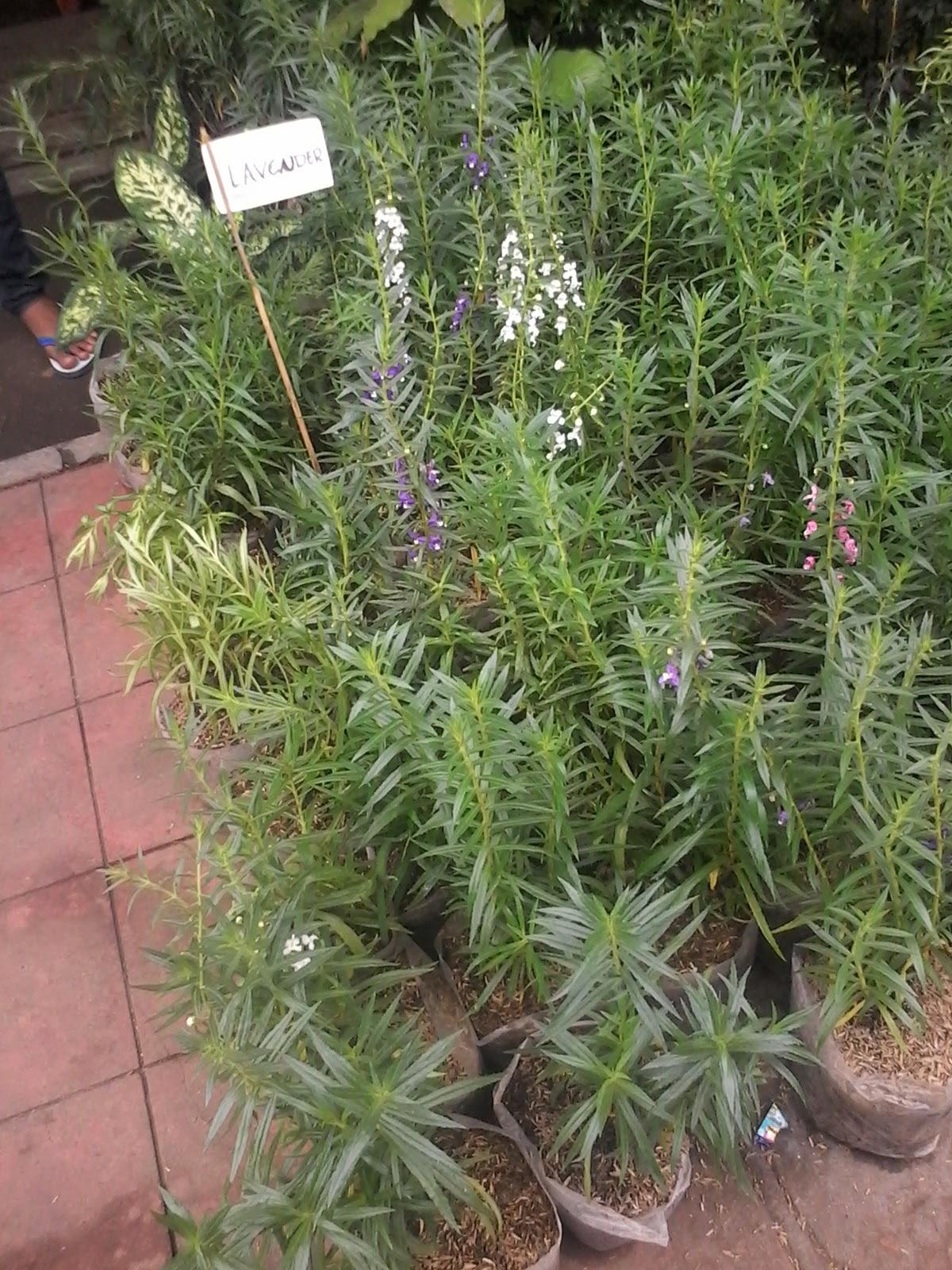 Jual rosemary | lavender | tanaman pengusir nyamuk | suplier tanaman hias