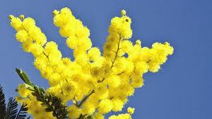 Mimosa, sempre al febrer
