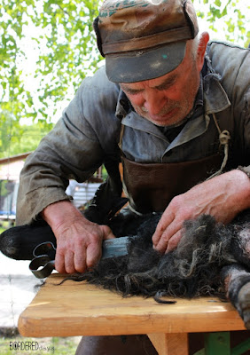 Traditional sheep shearing