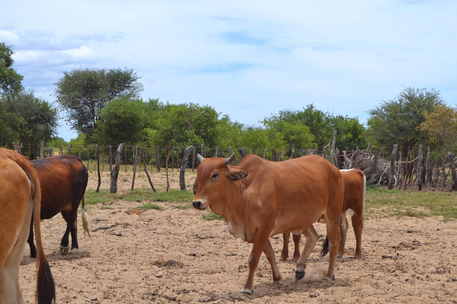 pin tuli cattle crossbreeds - photo #23