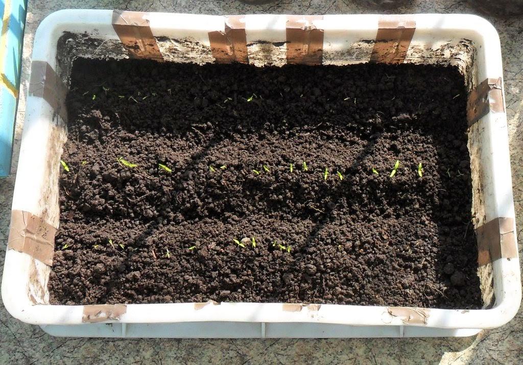 Часть помидоров выращиваю в ящиках